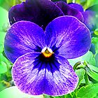 Violet Pansy by ©The Creative  Minds