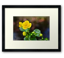 Kingcup in my garden Framed Print