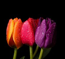 The Three Tulips by SandraWidner