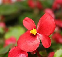 Red Begonia by aprilann