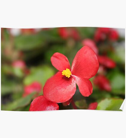 Red Begonia Poster