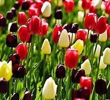 Tulips by Thad Zajdowicz
