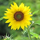 Sunflower by ClayBearStudio
