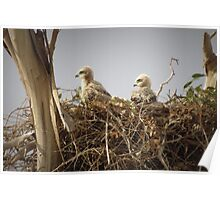 Red-tailed Hawk Chicks ~ Third Generation Poster