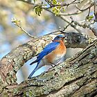 Bluebird by Susan S. Kline