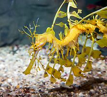 Weedy Sea Dragon by PamsPetPictures