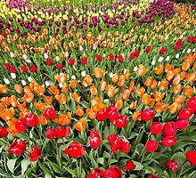 Rainbow of Tulips by Jim Stiles