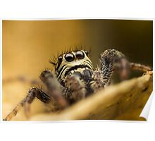 Macaroeris nidicolens jumping spider high magnification photo Poster