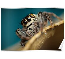 Macaroeris nidicolens female jumping spider extreme macro Poster