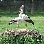 Two White Storks by Ryan Eberhart