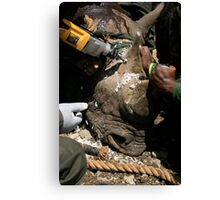Implanting a tracker in a rhino horn- rhino conservation Canvas Print