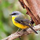 Eastern Yellow Robin by John Sharp