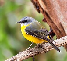 Eastern Yellow Robin by John Sharp