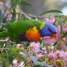 Rainbow Lorikeet Feasting! by Helen Greenwood