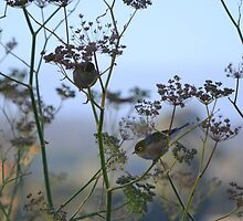 Two Silvereyes Feasting on Fennel Seeds by Helen Greenwood