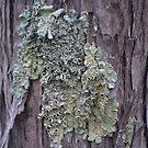 Lichen on Bark by Helen Greenwood
