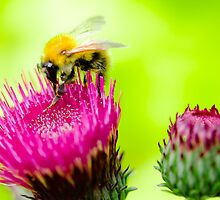 Bumble Bee on Thistle by Thomas Tolkien