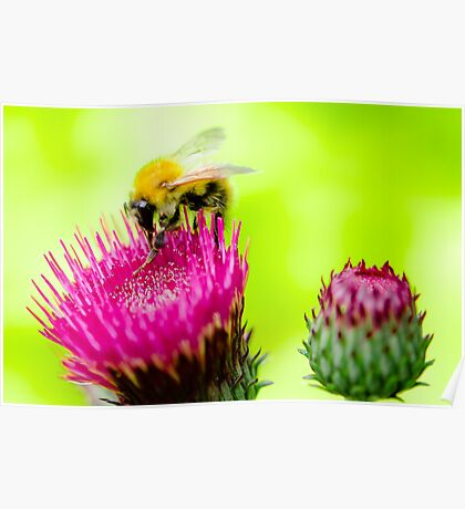 Bumble Bee on Thistle Poster