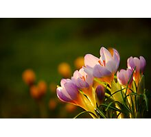 Crocus Photographic Print