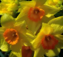 Two toned Daffodils by vigor