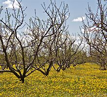 Spring in the Orchard by John Thurgood