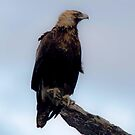 Royalty Of the Skies   Wedge Tailed Eagle by Kym Bradley