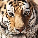 Face Of The Tiger by Gene Praag