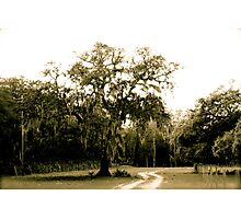 Live Oak and Spanish moss Photographic Print