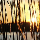 Reeds by MEParnell