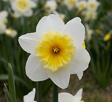 Single Daffodil  by L2Photography