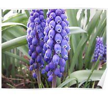 Blue Grape Hyacinths Poster