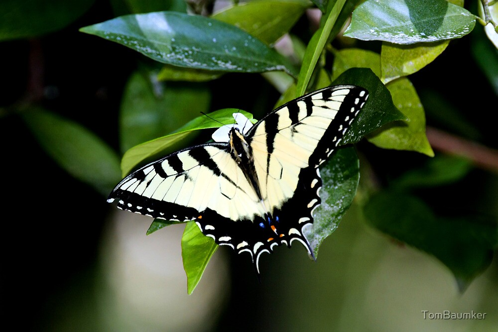 EASTERN TIGER SWALLOWTAIL by TomBaumker