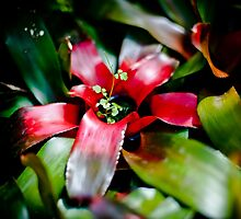 Red Bromeliad with Symbiote by mlphoto