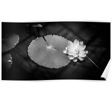 Monochrome Water Lily (Nymphaeaceae) Poster