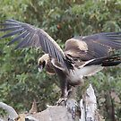 Oh this Stretch feels good  Wedge Tailed Eagle Canberra by Kym Bradley