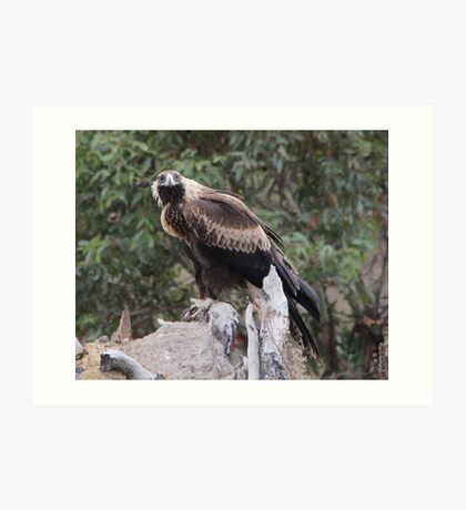 Here's Looking At You Kiddo  Wedge Tailed Eagle Canberra Australia  Art Print