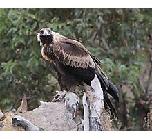 Here's Looking At You Kiddo  Wedge Tailed Eagle Canberra Australia  Photographic Print