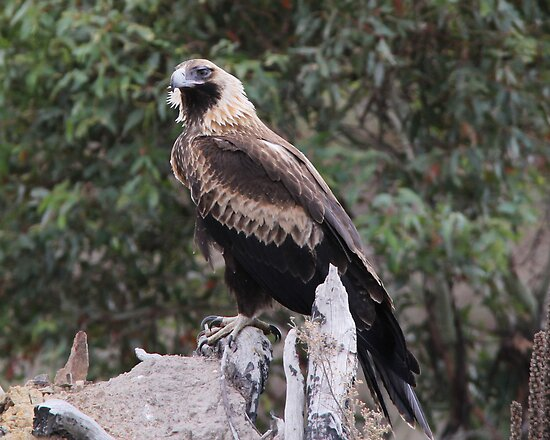 Who Said Beauty Is Within  Wedge Tailed Eagle Canberra Australia  by Kym Bradley