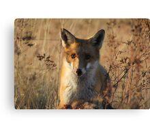 Mine   ~ Fox taken over the Eagles Kangaroo ~ Canberra Australia Canvas Print