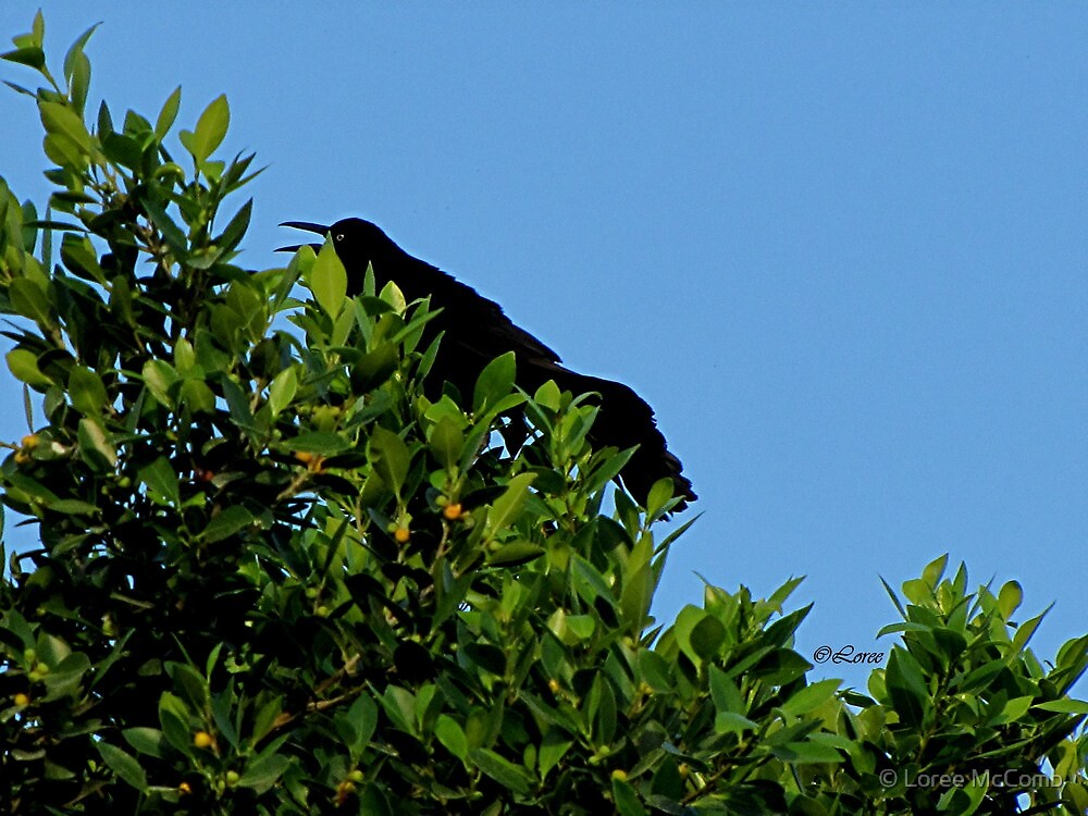 Grackle Cackle by © Loree McComb