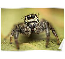 Macaroeris nidicolens jumping spider photo Poster
