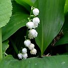 Fragrant lily of the valley by Ana Belaj