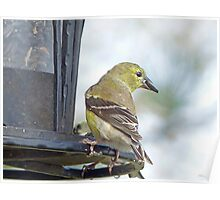Yellow Finch Poster