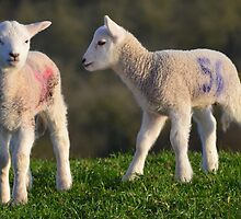 Springtime Lambs by Rob Parsons