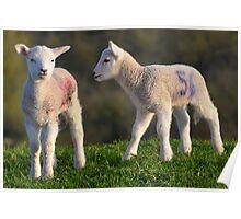 Springtime Lambs Poster