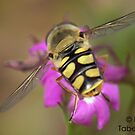Hoverfly on Flower by BTaberham