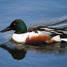 Shoveler Duck Male by Dorothy Thomson