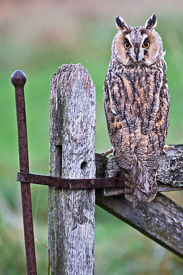 Long Eared Owl by Alan Forder