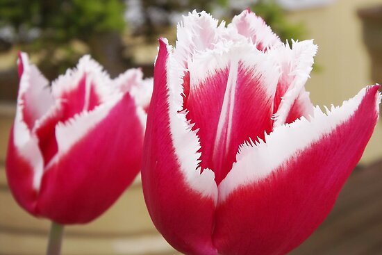 Tulips with Fringe on Top by seeingred13