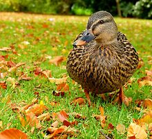 I'm Blending Into Autumn - Mallard Duck by AndreaEL